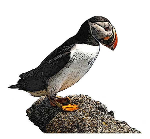 Atlantic Puffin National Bird Project Canadian Geographic