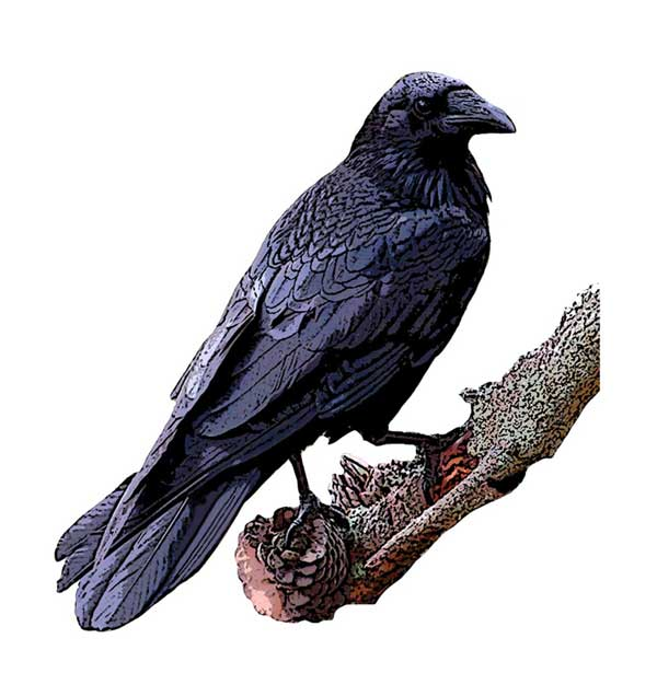 Common Raven National Bird Project Canadian Geographic