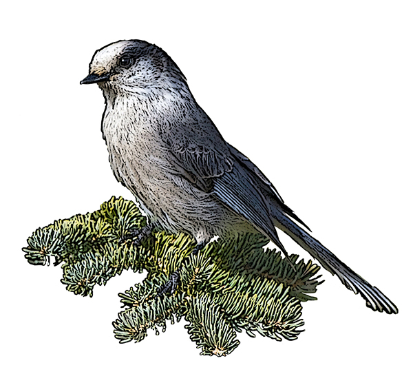 Gray Jay National Bird Project Canadian Geographic