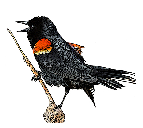 Red Winged Blackbird National Bird Project Canadian Geographic