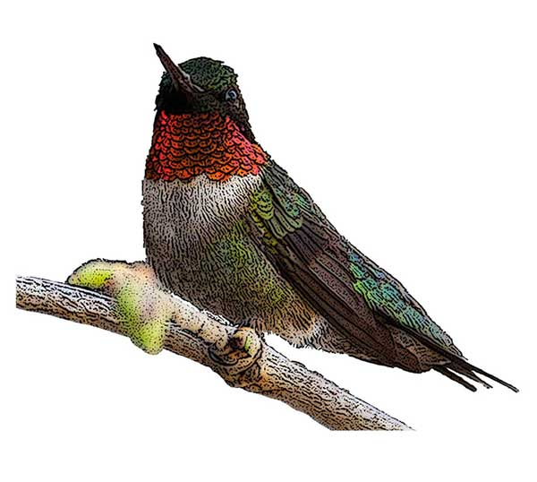 Ruby Throated Hummingbird National Bird Project Canadian Geographic